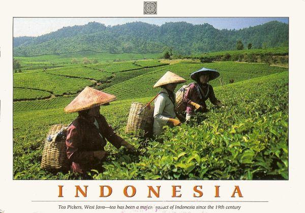 three tea pickers in a sloping tea field