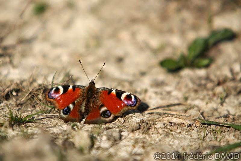 papillon paon du jour nature macro forêt rougeau Seine-et-Marne
