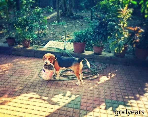 Beagle Snoopy Godyears