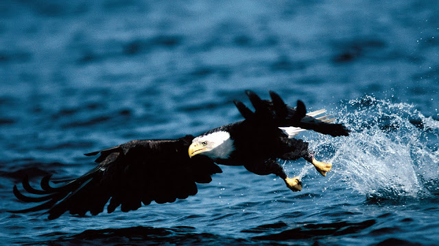 Eagle_wallpaper_hd_9