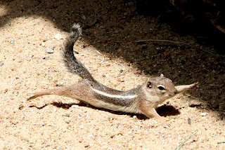 Écureuil Pandiculation