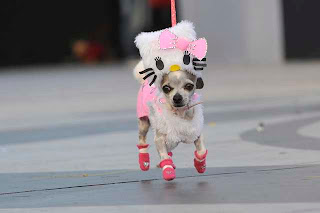 Pet chihuahua dressed in Hello Kitty costume