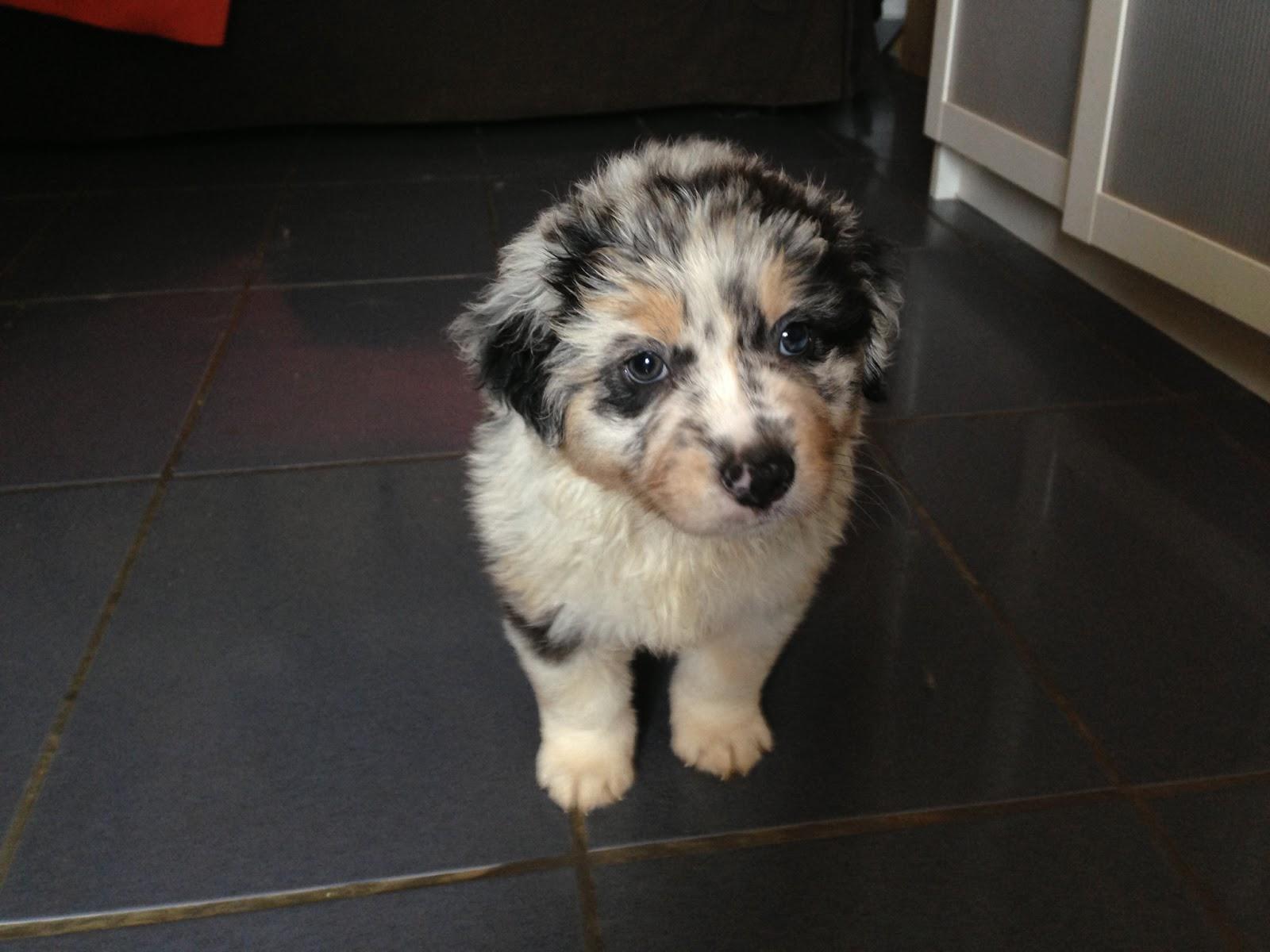 Australian Shepherd puppy blue merle