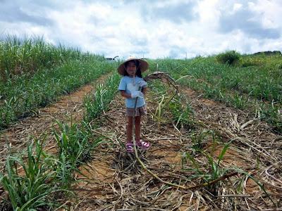 体験/観光 サトウキビ刈り 黒糖 夏休みの宿題 自由研究のテーマ 小学生