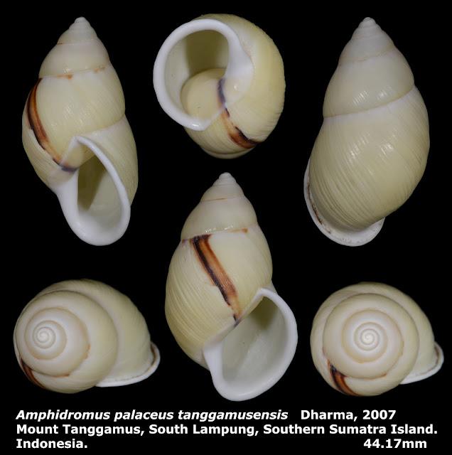 Amphidromus palaceus tanggamusensis 44.17mm