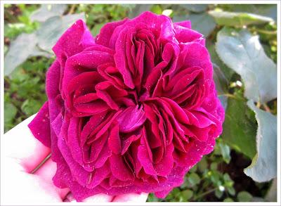 Lila-Bordeauxfarbene Duftrose