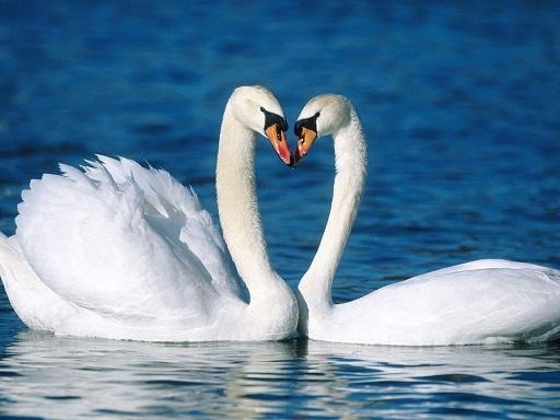 paisaje de amor cisnes