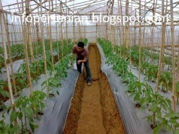 Info Teknologi Pertanian