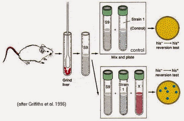 ames test mutagen salmonella liver griffiths mouse mice control strain reversion his mutagenicidad