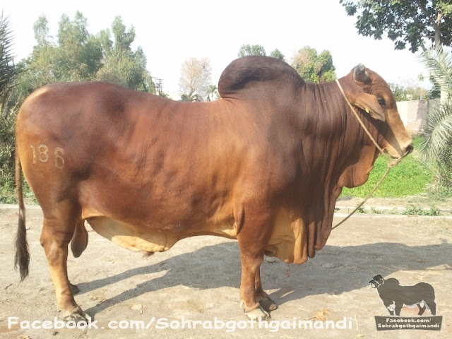 Sahiwal Bachra For Sale 2013