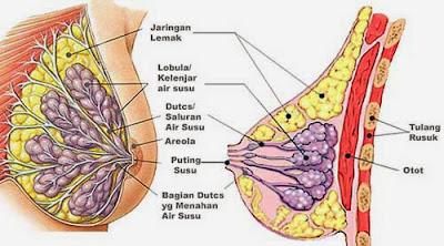 pengencang payudara