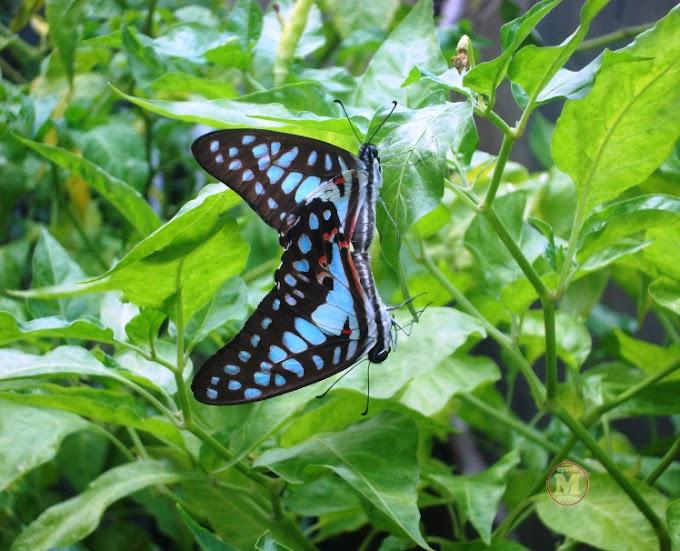 Kupu-kupu Cantik nan Menawan ini Sedang Apa ya?