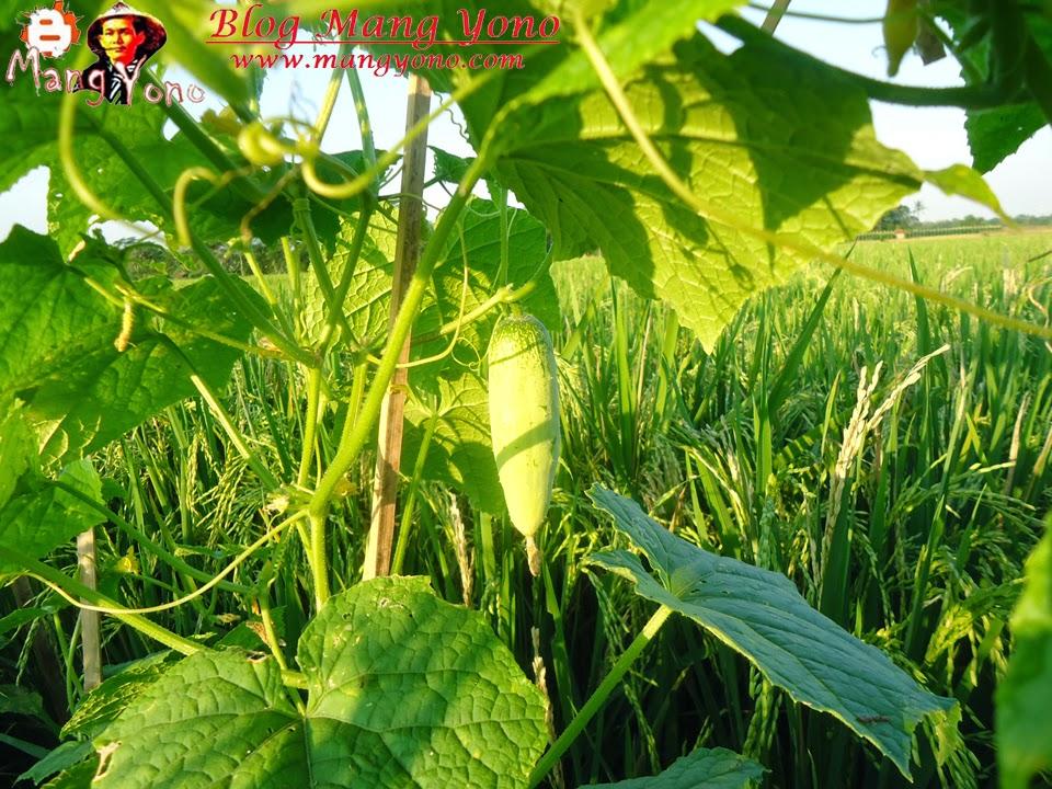 Memanen buah kentimun yang ditanam di pematang sawah.