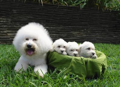Bichon Puppies Pictures