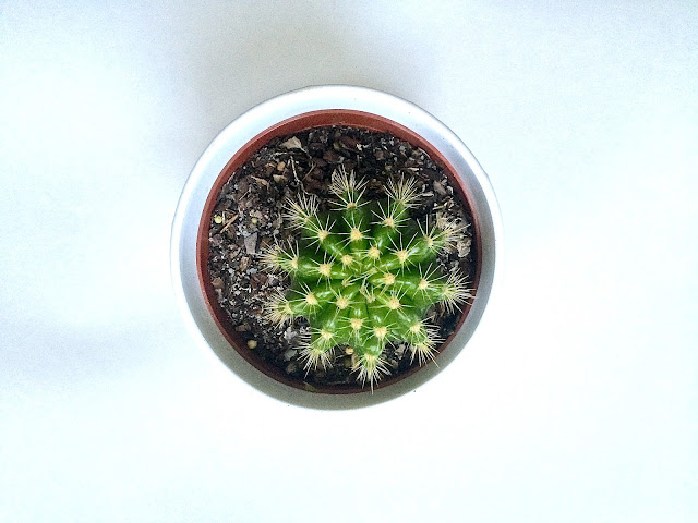 Miniature Cactus from Ikea