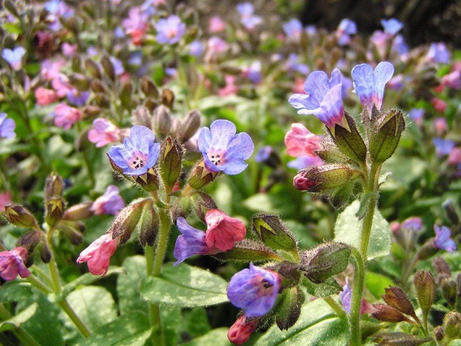 Цветок с колокольчиками название