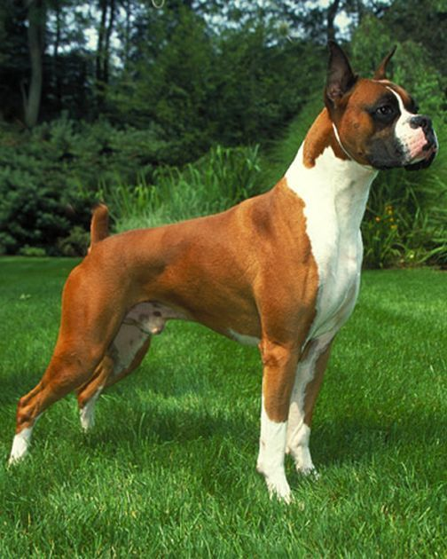 Average Size and Weight of Boxer Dogs