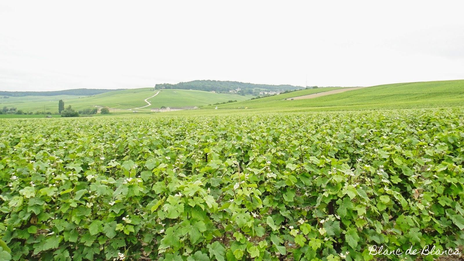 Pinot Meunier -viljelmiä Dizyssä - www.blancdeblancs.fi