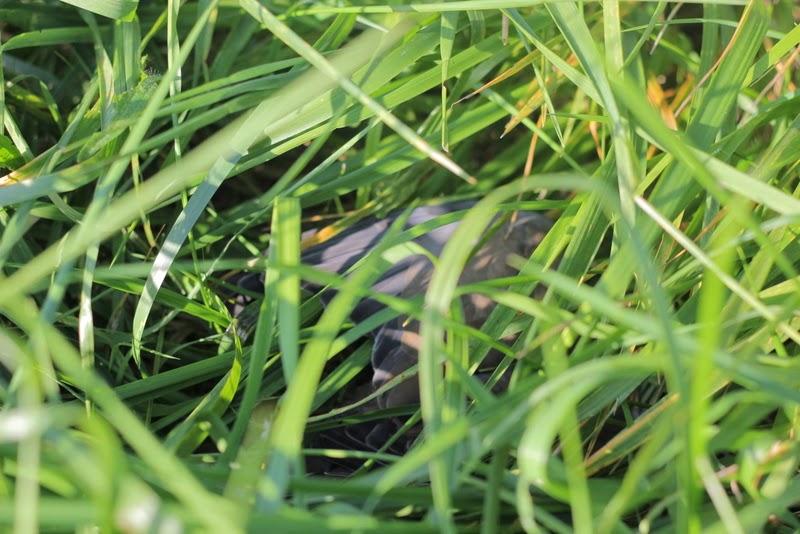 Dead dove hidden in the grass