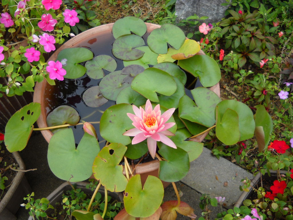 Daily glimpses of japan water lily and lotus photos and haiku these are water lilies izmirmasajfo