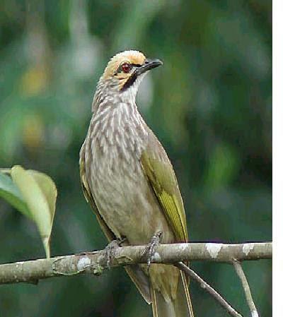 Gambar Cara Merawat Burung Cucak Rowo