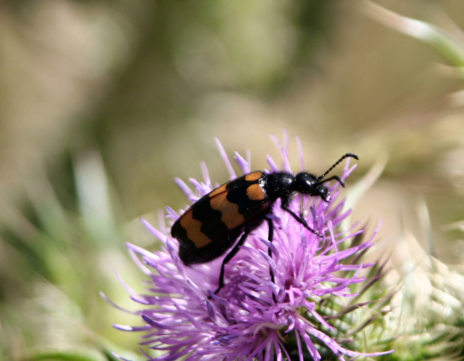 Colourful bug on a colourful thistle head
