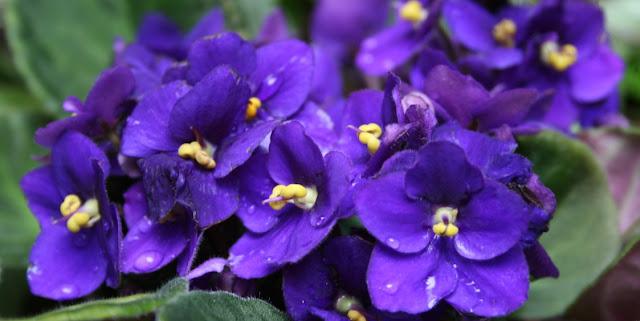 Plantas violaceas y botanica