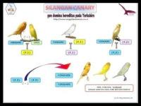 burung kenari YS, F1, AF dan loper