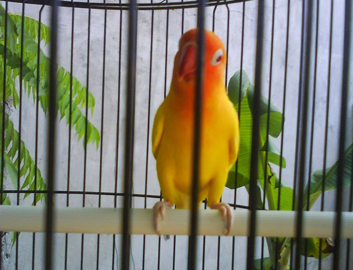 What Is a Lutino Lovebird  Referencecom