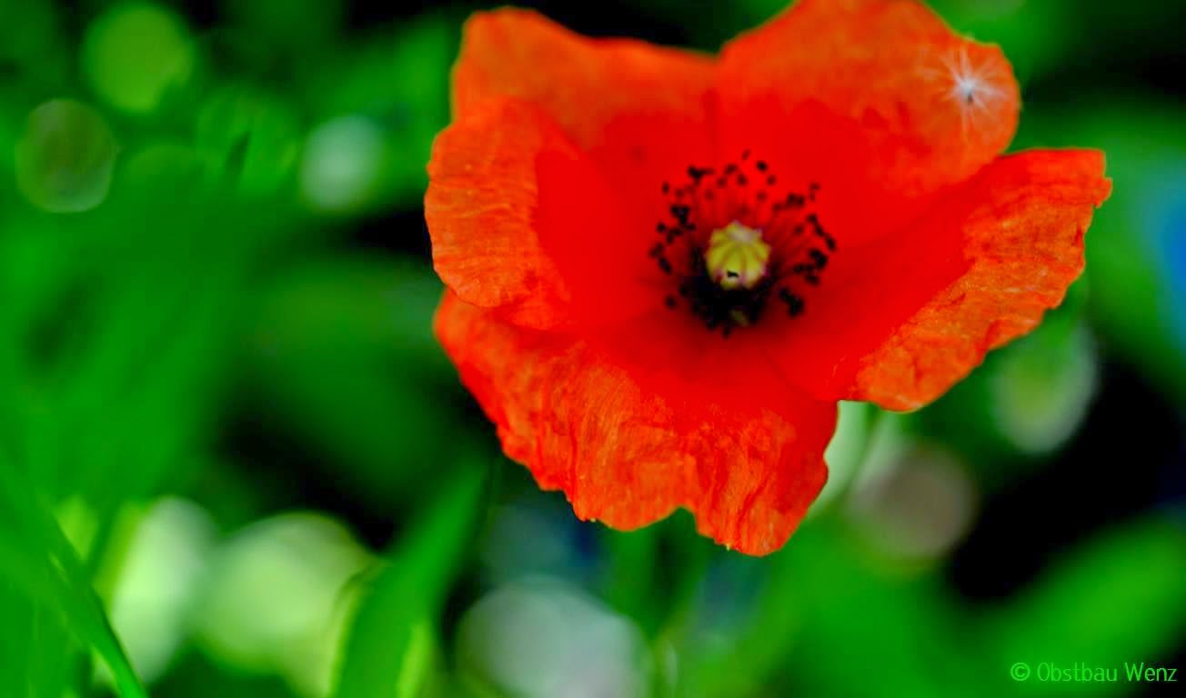 Blüte, Blume, Mohn