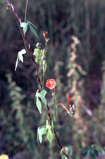 red Ipomoea