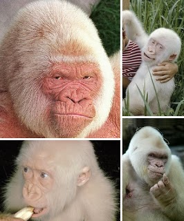 White Gorilla .