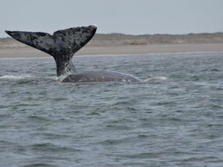 Gray Whale Tail in Baja, Mexico
