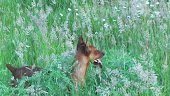 Foxy in the grass