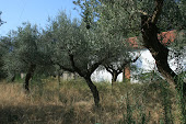 Olives in Lacedaemon
