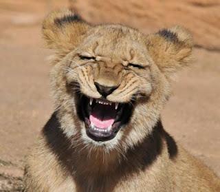 Imagenes Graciosas de Animales, Leones