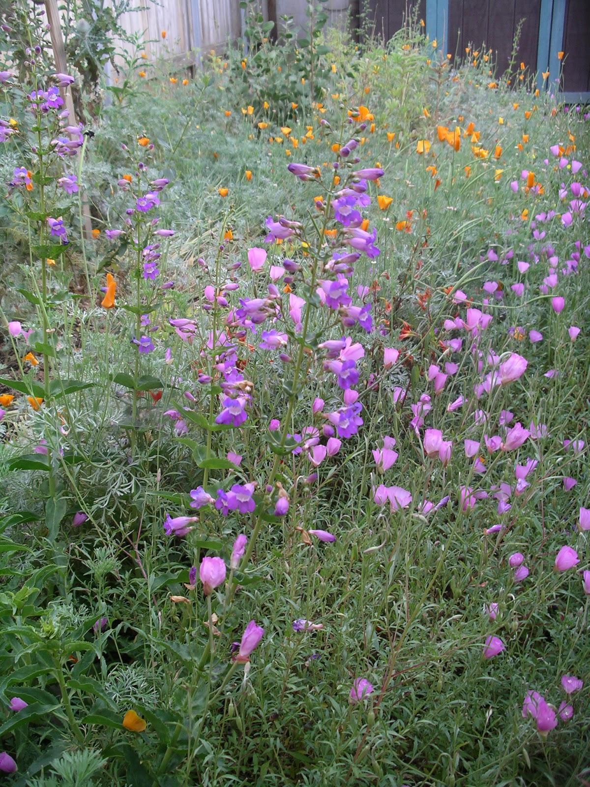 A California Native Plant Garden In San Diego County Perennial Herbs