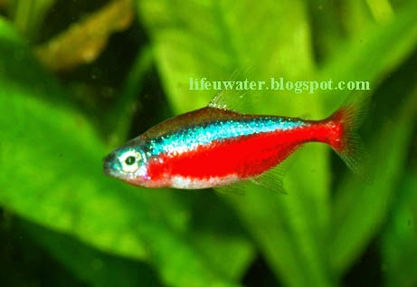 Beautiful Cardinal Tetra