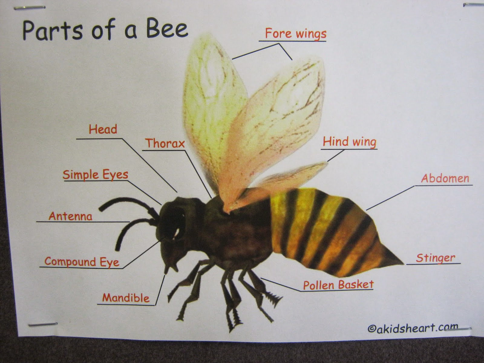 Labelled Diagram Of A Honey Bee 28 Images They Were