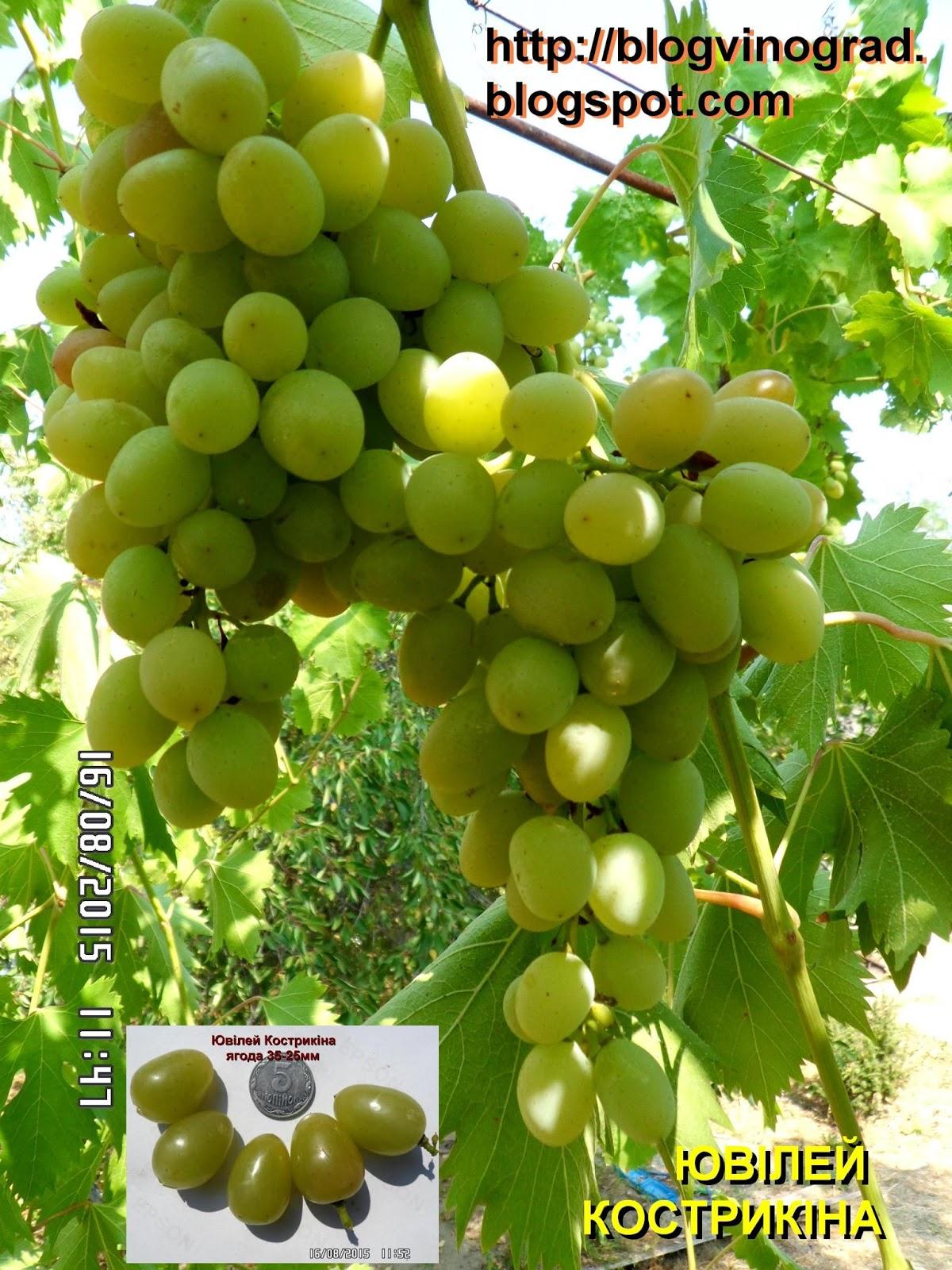 Виноград подарок херсонского дачника