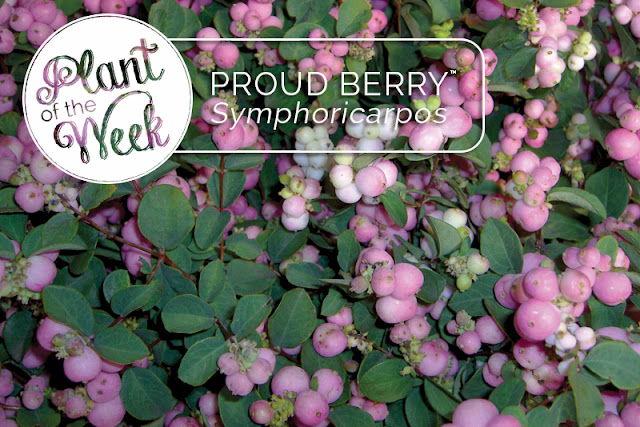 Proud Berry coral berry from Proven Winners