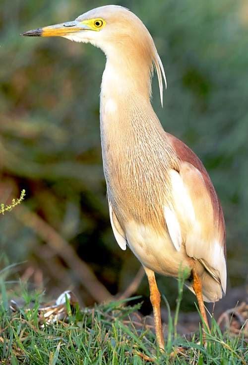 Indian birds - Indian pond heron - Ardeola grayii