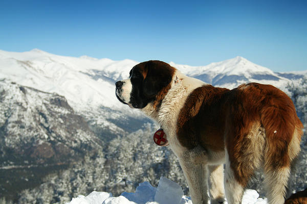 Giant Dog Breed Profile: Saint Bernard dog breed information