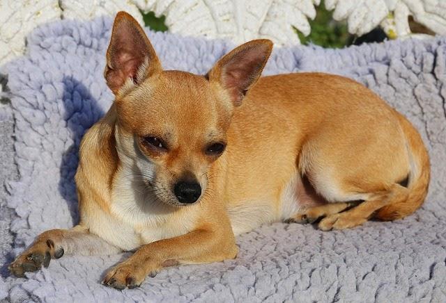 Il carattere dei Chihuahua