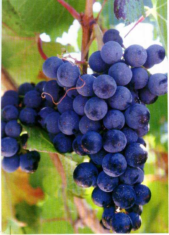Imagenes de uva