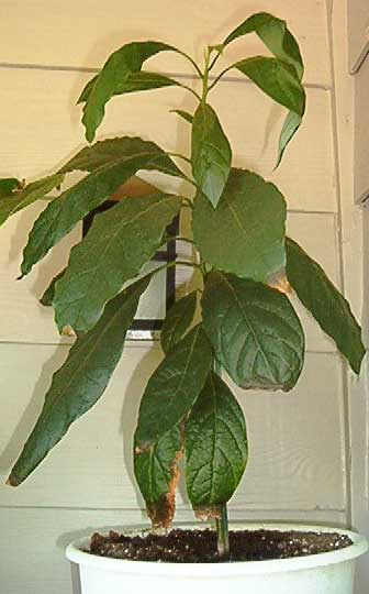 Go Back gt; Gallery For gt; Avocado Tree