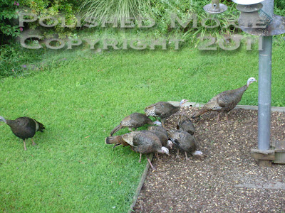 Picture of eight wild turkeys