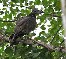 Oriental Honey-Buzzard_2011