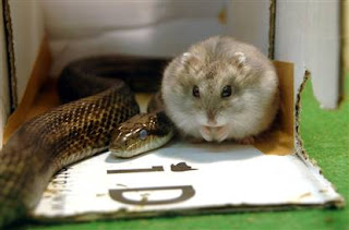 A snake and dwarf hamster sit amiably side by side