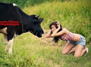 Smjesne slike, krava, luda